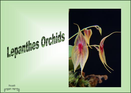 Lepanthes Orchids